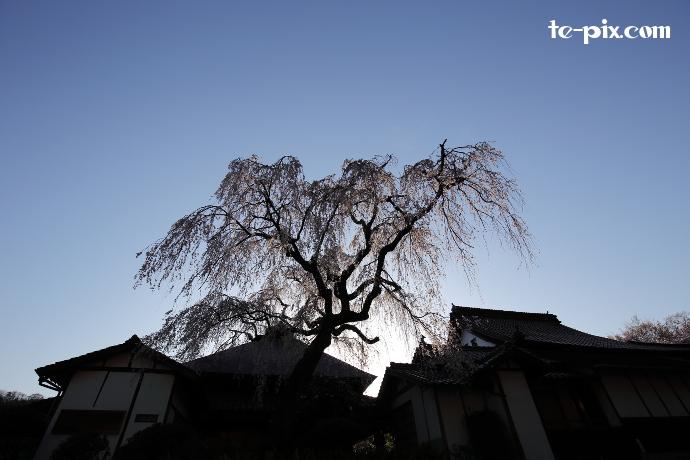 朝日としだれ桜