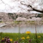 今年撮った桜をレンズ別にまとめてみる