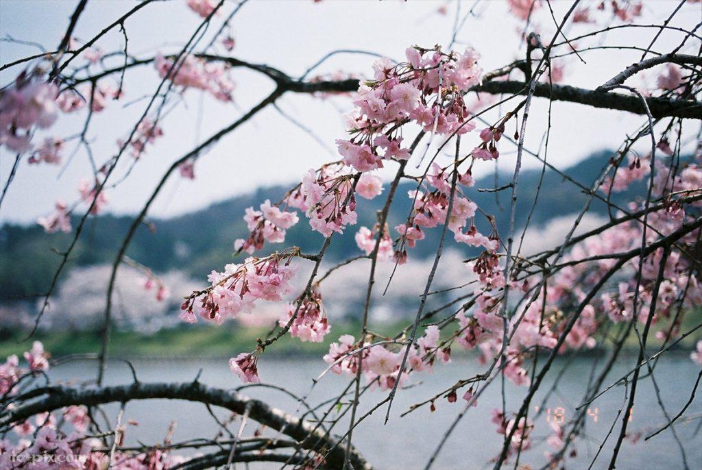 EOS 55の作例桜